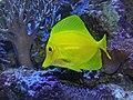 Yellow Tang444.jpg