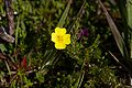 Yellow flower, Iona (15250877225).jpg