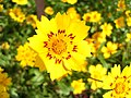 Yellow flower in the Sun - Flickr - Swami Stream.jpg