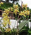 Yellow orchid in Santana - Apr 2013.jpg