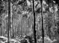 Young Karri Regrowth in Primer of Forestry Poole 1922.png