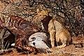 Young lion feeding on eland.jpg