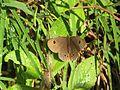 Ypthima ypthimoides Moore, 1881 – Palni Four-ring at Mannavan Shola, Anamudi Shola National Park, Kerala (17).jpg