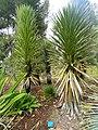 Yucca decipiens - Jardin d'oiseaux tropicaux - DSC04874.JPG