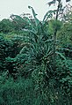 Yucca lacandonica fh 0376 MEX B.jpg