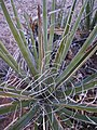 Yucca leaves up close.jpg