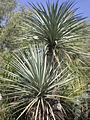 Yucca mixtecana 1c.JPG