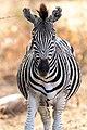 Zebra (133192461).jpeg