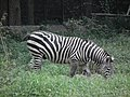 Zebra from Bannerghatta National Park 8698.JPG