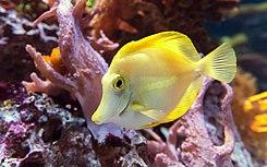 Gele zeilvindoktersvis (Zebrasoma flavescens)