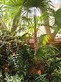 Zombia antillarum - Denver Botanic Gardens - DSC00947.JPG