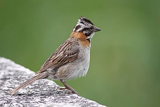 Rufous-collared sparrow - Image: Zonotrichia capensis Buenos Aires, Argentina 8