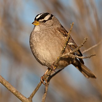 White-crowned sparrow - In California, United States