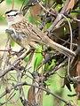 Zonotrichia leucophrys 07051.JPG