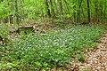 Zwiebelzahnwurz Goettiinger Wald 01..JPG
