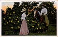 """The Pick of the Crop, Scene in a Grape Fruit Orchard, Florida"" (10690049745).jpg"