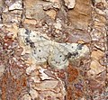 (1711) Treble Brown Spot (Idaea trigeminata) (36839711234).jpg