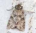 (2150) Grey Arches (Polia nebulosa) - Flickr - Bennyboymothman (1).jpg