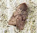 (2185) Lead-coloured Drab (Orthosia populeti) - Flickr - Bennyboymothman.jpg