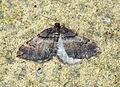 (70.066) (BF1746) Shoulder-stripe (Earophila badiata) - Flickr - Bennyboymothman.jpg