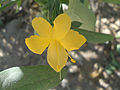 (Barleria prionitis) December flower at Nizampet.jpg