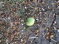 (Calophyllum inophyllum) at VUDA Park 03.JPG