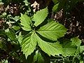 (MAD) P. quinquefolia-1.jpg
