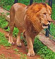 (PANTHERA LEO) LION.jpg