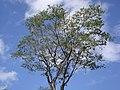 Árbol con nido de tojos - panoramio.jpg