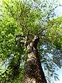 Árvore chapéu-de-Napoleão (Thevetia peruviana) por Jani Pereira 2.jpg