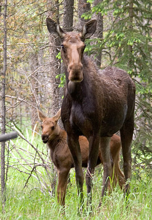 Mammals of Rocky Mountain National Park - A cow moose and her calf
