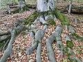 Букові ліси в Кобилецькій Поляні.jpg