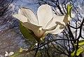 Весна у Стрийському парку. Магнолії.jpg