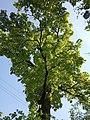 Віковий дуб «Рубежівський» 01.jpg