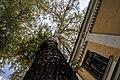 Група вікових дерев тополі білої 05.jpg