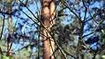 Змієві вали Вівчарик DSC 0615.jpg