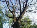 Крона дуба весною.JPG