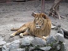 Член льва длина