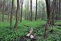 Лісова рослинність Червоногреблянського заказника.jpg