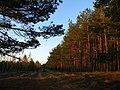 Молодечненский лес. Сосновый Бор. - panoramio.jpg