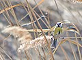 Обыкновенная лазоревка - Cyanistes caeruleus - Eurasian blue tit - Син синигер - Blaumeise (33055030636).jpg