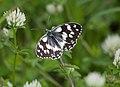 Пестроглазка галатея - Marbled White - Melanargia galathea - Шахматна пеперуда (14337598807).jpg
