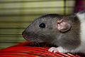 Ручная крыса дамбо.jpg