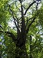 Украина, Киев - Голосеевский лес 129.jpg