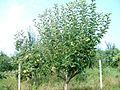 Ябълки - panoramio (1).jpg