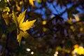 برگ زرد-پاییز-yellow leaves-falling leaves 03.jpg