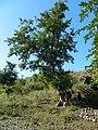 अर्जुनाचे झाड Arjun tree (Terminalia arjuna).jpg