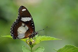 ஆண் பசலைச் சிறகன் - Danaid Eggfly Male - Hypolimnas misippus.jpg