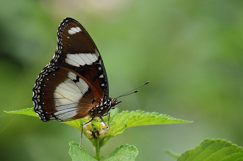 File:ஆண் பசலைச் சிறகன் - Danaid Eggfly Male - Hypolimnas misippus.jpg