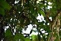ആനപ്പരുവ-കായ Pothos scandens.jpg